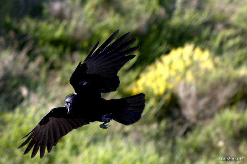 black wings 1