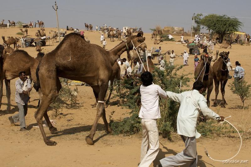 camel wrangling