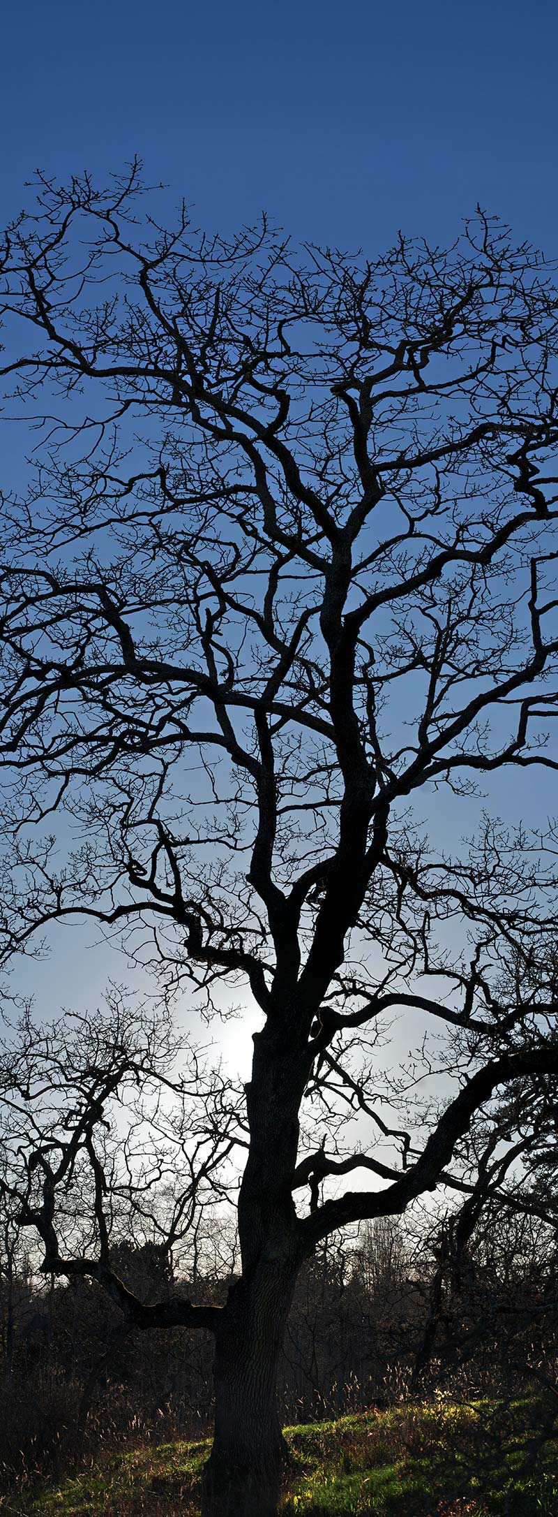 garry oak