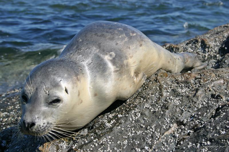 salty the baby seal
