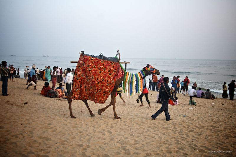 camel at puri