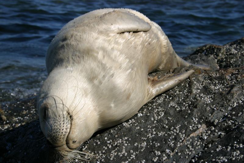 salty seal again