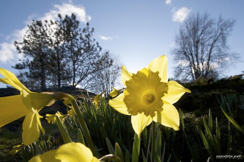 daffodil in the sun