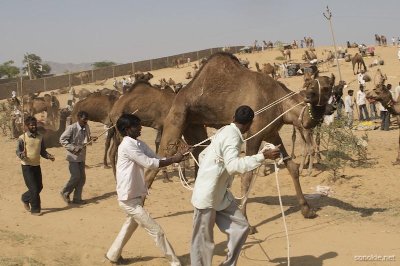 camel wranglers