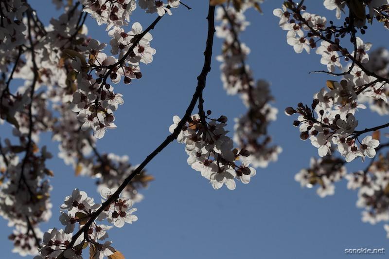 backlit blossoms